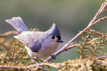 Tufted Titmouse (Baeolophus Bicolor) Perched On A Branch In Winter