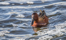 Cinnamon Teal Ducks In Pond