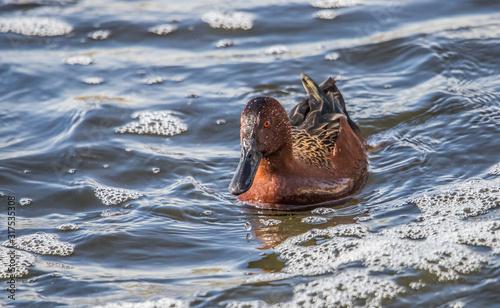 Canvas Print Cinnamon teal ducks in pond