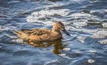 Cinnamon Teal Ducks In Pond