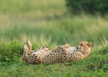Mother Cheetah Lying On Her Ba...
