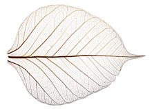 Sceleton Of Leaf On A White Background -