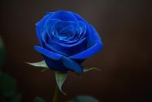 Blue Rose Against Soft Brown B...