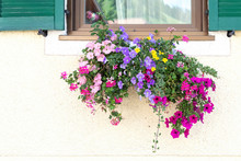 Window Decorated With Petunias...