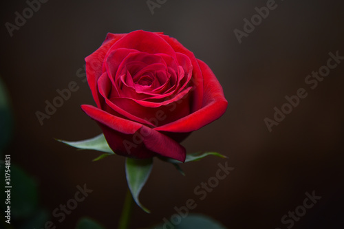Red Rose Against Soft Brown Background