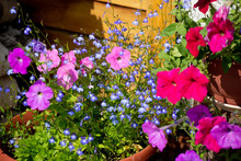Petunia Blooms In Many Colors....