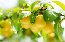 Branch Of Ripe Yellow Plums