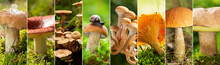 Collage Of Edible Mushrooms In A Forest