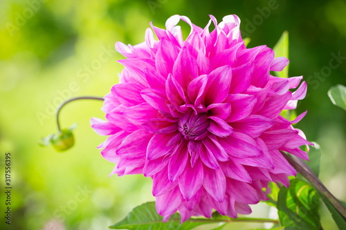 Obraz pink dahlia flower in a garden - fototapety do salonu