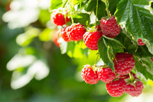 Branch Of Ripe Raspberries In ...