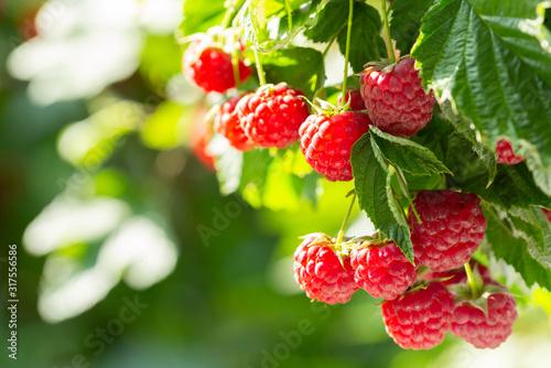 Photo branch of ripe raspberries in a garden