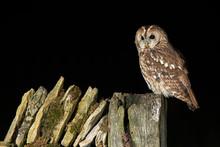 Tawny Owl (Strix Aluco) Perche...