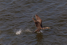 Young Great Cormorant Flying Off The Water