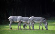 Three Zebras Lined Up, Grazing...