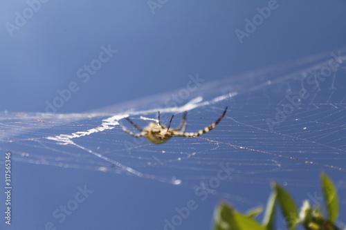 araignée ciel bleue Canvas Print