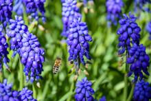 Hyacinth, Purple Flower, First, Spring, Bloom