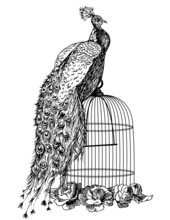 Peacock Seating On A Bird Cage...