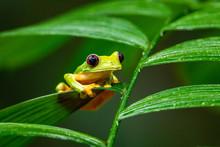 Gliding Tree Frog (Agalychnis ...