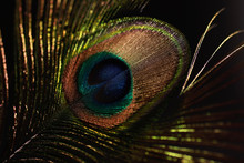 Peacock Feather Isolated On Bl...