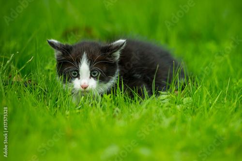 Photo Chaton de 2 mois nommé Domino dans la pelouse