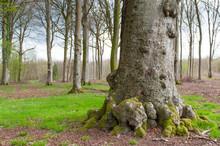Le Hêtre Richard, Arbre Remarquable En Forêt De Crécy