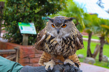 Beautiful Closeup Owl Sitting On The Trainer's Hand