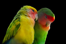 Two Rosy-faced Lovebirds (Agap...