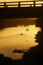 Rowers And Safety Boat In Gold...