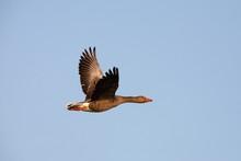 Goose Flying Wiht A Blue Sky I...