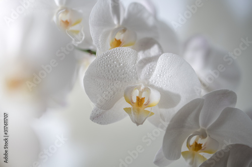 Fototapeta A close up of beautiful white orchid flowers obraz