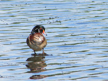 Wood Duck In Pond