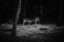 Fallow Deer Fighting During Ru...