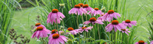 Pink Coneflowers, Echinacea, I...