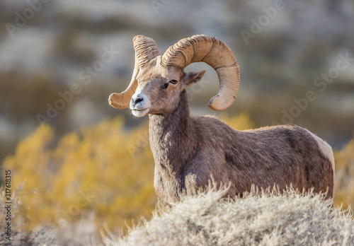 Endangered desert bighorn sheep Canvas Print