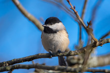 Black-capped Chickadee Perched On A Branch