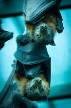 Bat, Clouseup The Grey-headed Flying Fox Is A Megabat Native To Australia. The Species Shares Mainland Australia With Three Other Members Of The Genus Pteropu
