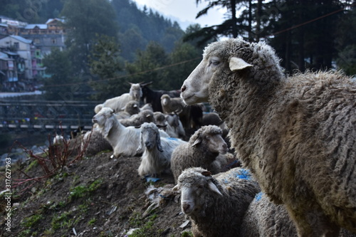 インドのヒマラヤ山岳地帯のマナーリー 山羊と羊の群れ 可愛い羊のクローズアップ写真 Wallpaper Mural