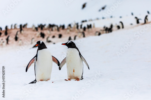 Photo Pair of gentoo penguins in wild nature, near snow and ice in the mountains