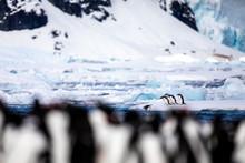 Pair Of Gentoo Penguins In Wil...