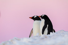 Gentoo Penguin Couple Courting And Mating In Wild Nature, Near Snow And Ice Under Pink Sky. Pair Of Penguins Interacting With Each Other. Bird Behavior Wildlife Scene From Nature In Antarctica.