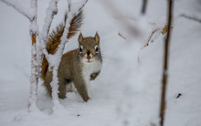 Red Squirrel In Winter Trees