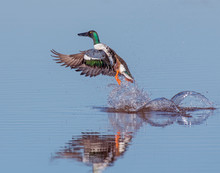 Northern Shoveler Duck Taking ...