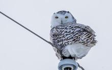 Female Snowy Owl On Post