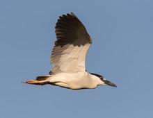 Night Heron Flying Above The Florida Everglades