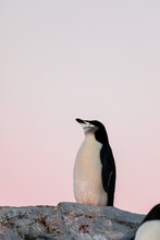 Chinstrap Penguin On The Snow ...
