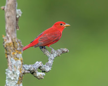 Male Summer Tanager On A Perch