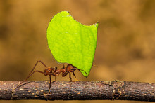 Leafcutter Ant Carrying A Leaf...