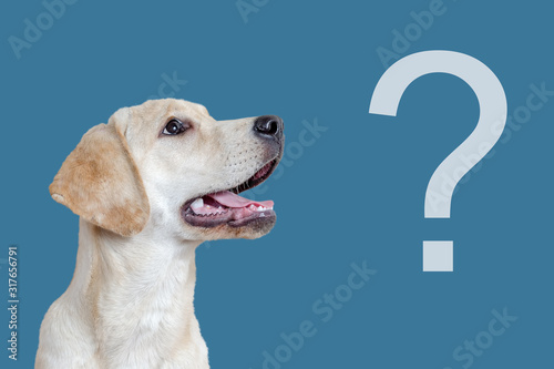 Obraz Curious dog and question mark on a blue background, faq concept. - fototapety do salonu