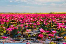 Beautifui Red Lotus In The Lak...