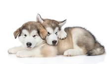Two Playful Alaskan Malamute P...